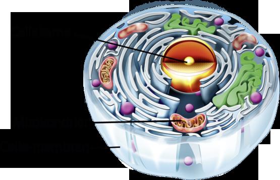 Celle med cellekerne og mitokondrier