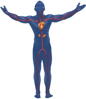 Illustration af kroppens blodkredsløb i en mand